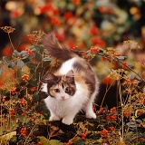 Cat among cotoneaster berries