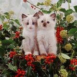 Kittens among holly berries