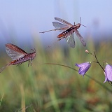 Grasshoppers leaping