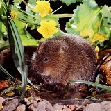 Water Vole with kingcups
