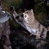 Wild Cat swiping at a Coal Tit
