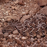 Puff Adder coiled