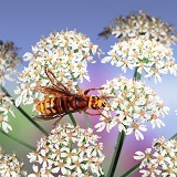 Hornet worker feeding on hogweed