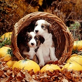 Border Collie pups in basket with squashes