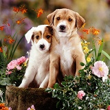 Border Collie pups with flowers
