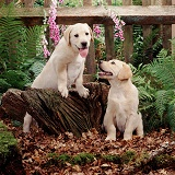 Labrador pups by woodland fence
