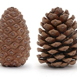 Pine cone open and closed