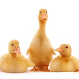 Trio of yellow ducklings