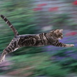 Tabby cat leaping
