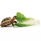 Young tortoise eating a leaf