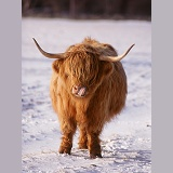 Highland cow licking its nose