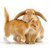 Ginger kitten and lop rabbit