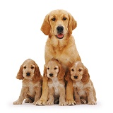Golden Retriever with spaniel pups