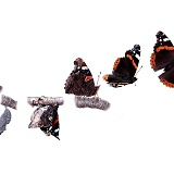 Red Admiral hatch emergence sequence