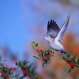 Collared Dove taking off