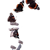 Red Admiral hatch sequence vertical
