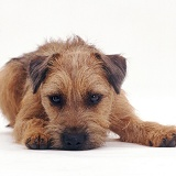 Border Terrier lying chin on floor