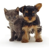 Kitten and Yorkie pup