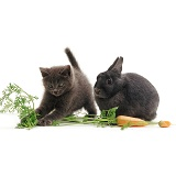Grey kitten and rabbit with carrot