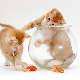 Kittens and goldfish bowl