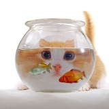Cat looking through goldfish bowl