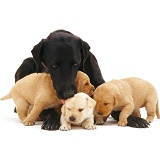 Labrador mother and pups