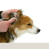 Cleaning a dog's ear