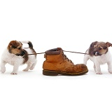 Jack Russell pups playing with a shoe