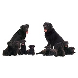 Black Labrador family