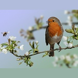 Robin on Cherry Blossom