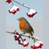 Robin on cotoneaster