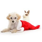 Poodle lying in a Father Christmas hat with young rabbit