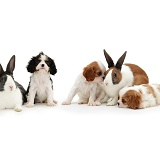 Cavalier pups and rabbits