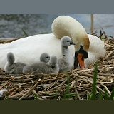 Mute Swan with cygnets