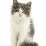 Grey-and-white kitten sitting