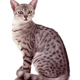 Silver spotted Egyptian Mau cat sitting