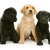 Labrador Retriever pups