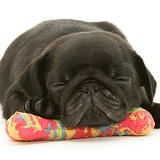 Pug puppy sleeping on a plastic bone