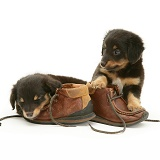 Sheltie x Dachshund pups with child's shoes