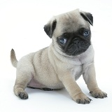 Fawn Pug pup, 7 weeks old