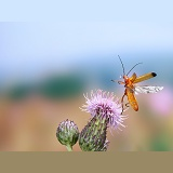 Soldier beetle taking off