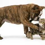 Bulldog pup playing with tabby kitten