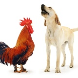 Rooster crowing and dog barking