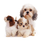 Shih-tzu mother and pups