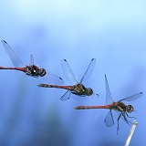 Darter Dragonfly landing multiple exposure