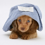 Dachshund puppy with hat on