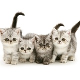 Four exotic kittens, 9 weeks old