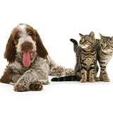 Brown Roan Spinone pup and tabby kittens