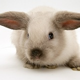 Colourpoint baby Lop rabbit
