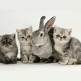 Silver Exotic kittens with silver Rex rabbit
